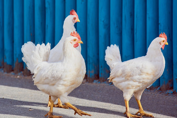 White chickens with red scallop walks near the blue fence.