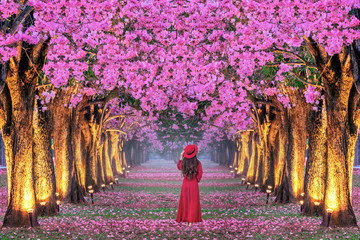 Wall Mural - Young woman walking in rows of beautiful pink flowers trees.