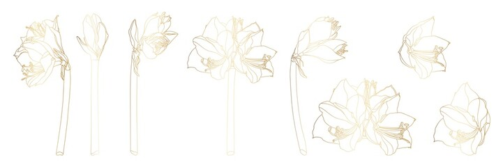 Decorative line golden clivia amaryllis branch flowers set, design elements. Can be used for cards, invitations, banners, posters, print design. Floral background in line art style.