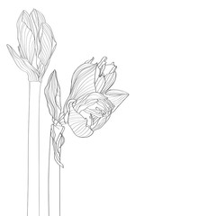 Decorative amaryllis line branch flowers bud set, design elements. Can be used for cards, invitations, banners, posters, print design. Floral background in line art style.