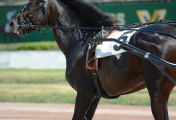 Muscles on a horse trotter breed. Harness horse racing in details