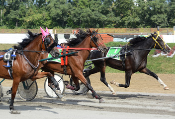 Horses trotter breed in motion on hippodrome. Harness horse racing