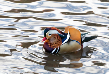The famous Central Park mandarin duck floating in a pond in Manhattan, New York City