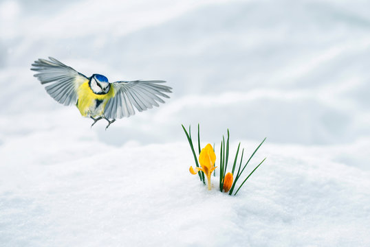 elegant holiday card bird tit flies widely spreading its wings to the first delicate yellow flowers crocuses make their way out from under the white snow