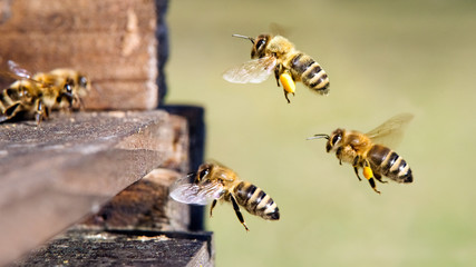 Photo sur Aluminium Bee Honigbienen am Bienenstock
