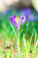Purple flower in nature. Beautiful crocus flowers during spring. Selective focus.