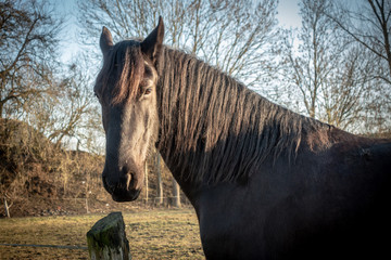 Black horses stand on a meadow and look into the camera