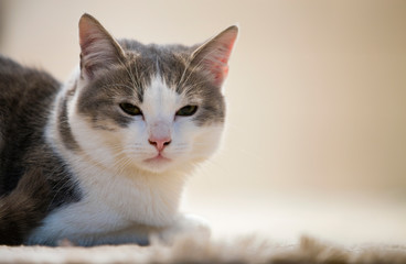 Profile portrait of young nice small cute smart white and gray domestic cat kitten with smiling expression on white copy space background. Keeping animal pet at home, wildlife concept.