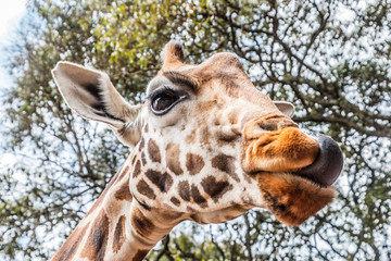 giraffe licking with tongue in kenya