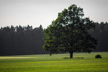 Tree in the middle of the field
