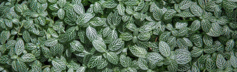 Pilea cadierei - houseplant. A tropical plant grown at home, used for landscaping. Pilea cadierei leaves as a natural background. For catalog, site header, any design.