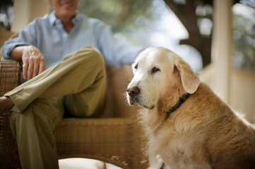 Golden Retriever sitting next to his owner.