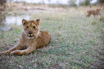 Portrait of a young lion sitting in grass.