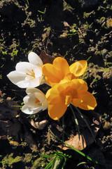 crocus blanc et orange