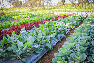 Green vegetable garden field planting chinese kale green and red oak lettuce salad in organic plantation farm