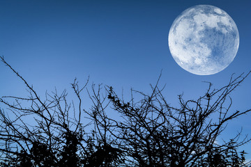Full moon blue sky twilight silhouette acacia branches thorn tree at night landscape