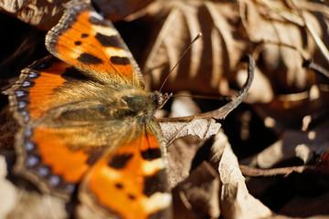 Schmetterlinge Deutschlands - Kleiner Fuchs