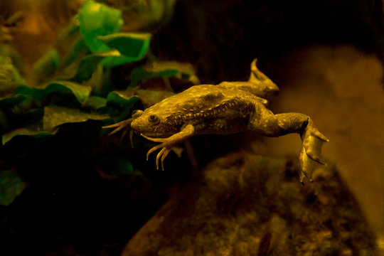 African clawed frog, African clawed toad, African claw-toed frog, platanna (Xenopus laevis).