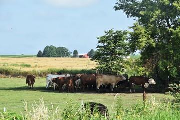 Cows under Shade Tree