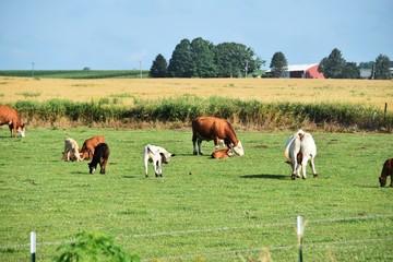 Herd of Cattle in Pasture