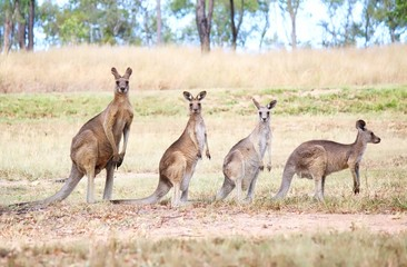 Zelfklevend Fotobehang Kangoeroe Family Of Wild Eastern Grey Kangaroo In Queensland, Australia