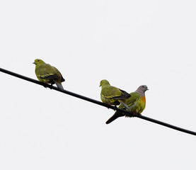 Wall Murals Birds, bees Pink-necked Green-Pigeon (Treron vernans), perching on the cable
