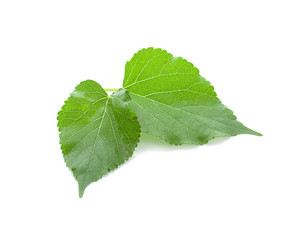 Mulberry green leave on white background isolate