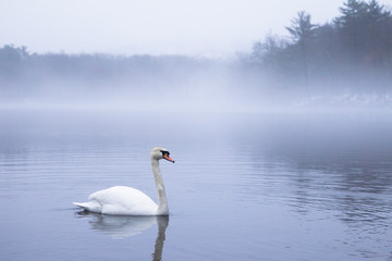 A swan floating on foggy lake in the morning