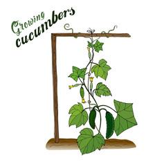 Vegetables. Cucumbers. Growing crops in the garden. Horticulture. Vector