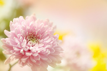 A soft pink flower in a horizontal presentation with a blurred background for text.