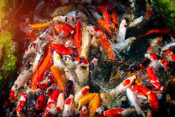 Koi fishes group swiming.