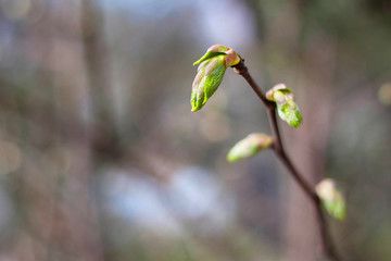 Young green sprout of the tree in early spring.