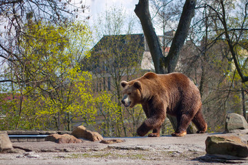 Big brown bear in a zoo on an artificial rock in early springtime.