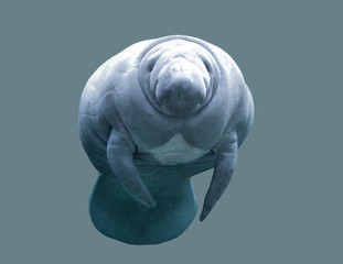 Animal Manatee on an isolated background
