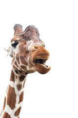 Giraffe looks like it is speaking, cut out