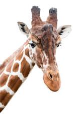 Portrait of a giraffe, cut out