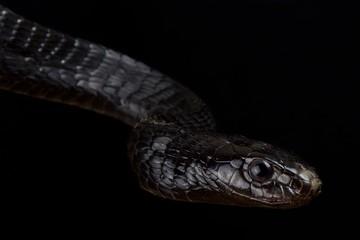 Wall Mural - Black Tree Snake (Thrasops jacksonii)
