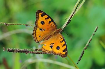 butterflies, butterfly, beautiful butterfly, butterflies perch on flowers,