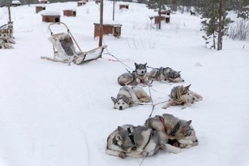 Ruhende Huskys im Schnee