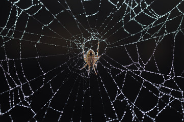 spiders in the net