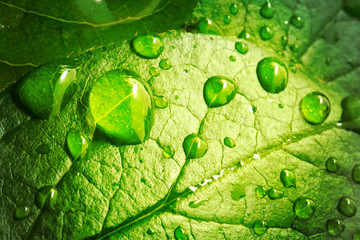 Beautiful drops of transparent rain water on green leaf macro. Many drops of dew in morning in sun. Beautiful leaf texture in nature. Natural background. Wall mural