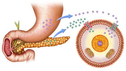La Glucosa y La Insulina en el cuerpo humano.