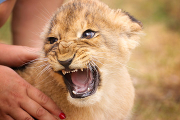 Baby lion in hand with open mouth Wall mural