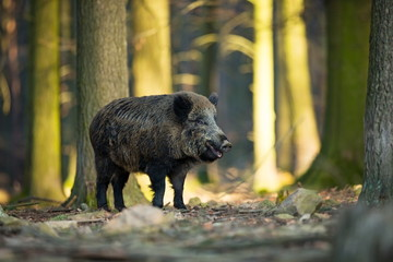 Up the scrofa. The wild nature of the Czech Republic. Free nature. Picture of an animal in nature. Beautiful picture. Animal in the woods. Deep forest. Mysterious Forest. Wild. From animal life. Fotoväggar