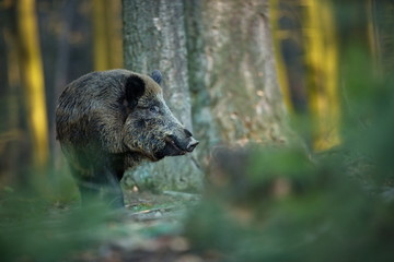 Up the scrofa. The wild nature of the Czech Republic. Free nature. Picture of an animal in nature. Beautiful picture. Animal in the woods. Deep forest. Mysterious Forest. Wild. From animal life.