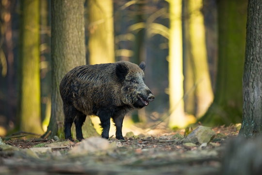 Sus scrofa. The wild nature of the Czech Republic. Free nature. Picture of an animal in nature. Beautiful picture. Animal in the woods. Deep forest. Mysterious Forest. Wild. From animal life.