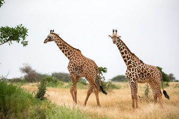 A giraffe is walking between the bush in the scenery of the savannah