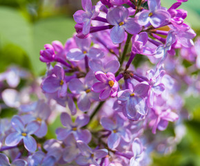 A tender color lilac flowers blooming in the spring