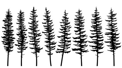 Silhouettes of tall spruce trees with rare branches.