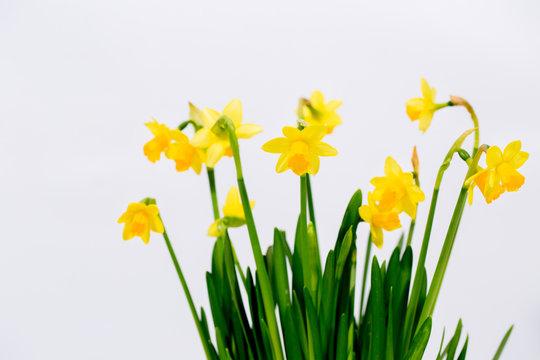 small decorative border daffodils